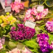 Выставка цветущих фиалок «Весеннее настроение» фотографии