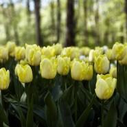 Фестиваль тюльпанов на Елагином острове 2021 фотографии