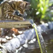Акция: «Бенгальские кошки в добрые руки» фотографии