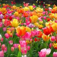 Посадка тюльпанов в парке имени Кирова 2016 фотографии