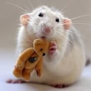 Фестиваль «Декоративные крысы» фотографии