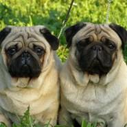 Фестиваль собак породы мопсы фотографии