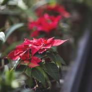 Экскурсии  «Новогодние растения мира» фотографии