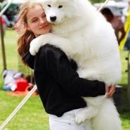 Фестиваль собак породы самоедов фотографии