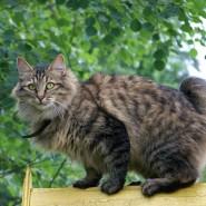 Фестиваль кошек породы «Бобтейл» фотографии