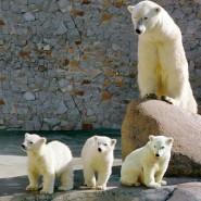 День Рождения Белой медведицы в Ленинградском зоопарке фотографии