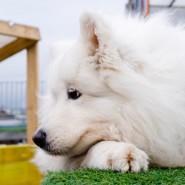 Фестиваль собак породы маламуты на крыше Лофт Этажи фотографии