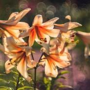 Выставка «Петербургские лилии» фотографии