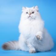 Выставка кошек «В Гостях у САФФИ» 2017 фотографии
