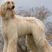 Фестиваль борзых собак фотографии