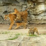 День тигра в Ленинградском зоопарке 2017 фотографии