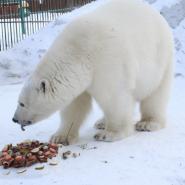 Международный День белого медведя в Ленинградском зоопарке 2019 фотографии