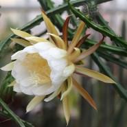 Цветение Царицы ночи в Ботаническом саду фотографии