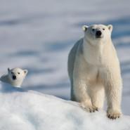 «День белого медведя» в Ленинградском зоопарке фотографии