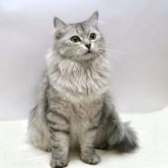 Фестиваль сибирских кошек фотографии
