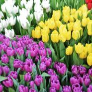 Выставка тюльпанов «Мечты о весне» 2019 фотографии