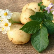 Праздник «Виват, картошка!» 2016 фотографии