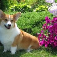 Фестиваль «Собак вельш-корги» фотографии