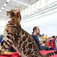 Выставка  «Мир Кошек» 2017 фотографии