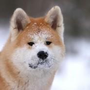 Фестиваль «Японских собак» фотографии