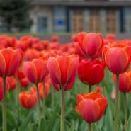 Посадка тюльпанов фотографии