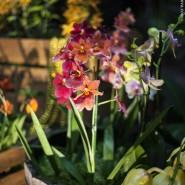 Выставка орхидей «Осколки радуги» 2017 фотографии