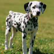 Фестиваль собак породы «Далматины» фотографии
