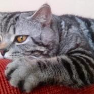 Фестиваль «Шотландские кошки» фотографии