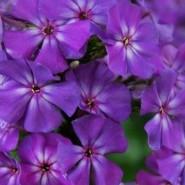 Выставка и фестиваль флоксов в Ботаническом саду Петра Великого фотографии
