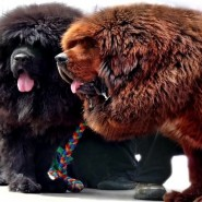 Фестиваль «Тибетский мастиф» фотографии