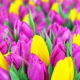 Выставка тюльпанов «Мечты о весне: путешествие в Голландию»