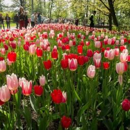 Фестиваль тюльпанов на Елагином острове онлайн