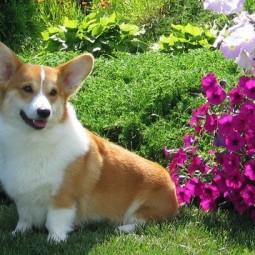 Фестиваль «Собак вельш-корги»