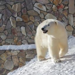 День белого медведя в Ленинградском зоопарке 2021