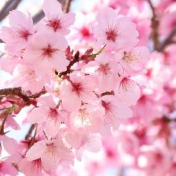 Фестиваль «Сакура мацури» 2021