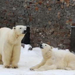 День Белых медведей в Ленинградском зоопарке 2020