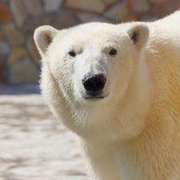 День белого медведя в Ленинградском Зоопарке 2020