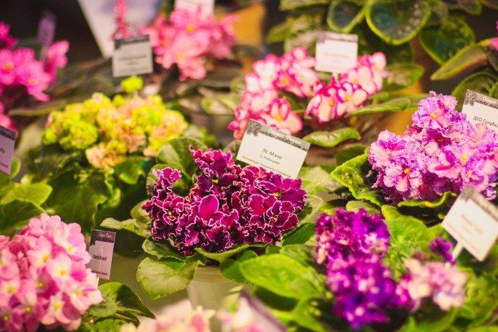 Выставка цветущих фиалок «Весеннее настроение»