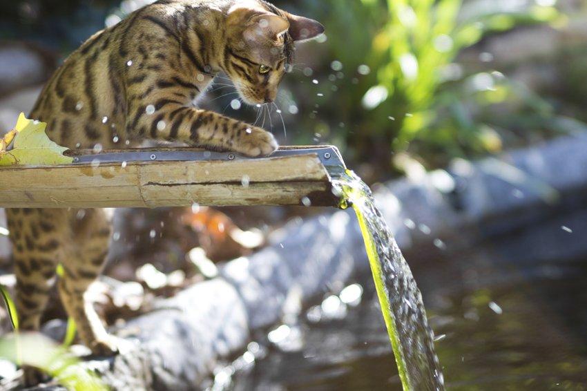 Акция: «Бенгальские кошки вдобрые руки»