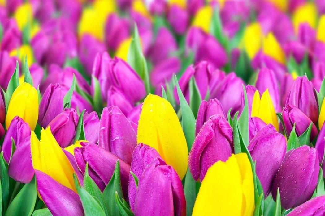 Выставка тюльпанов «Мечты овесне: путешествие вГолландию»