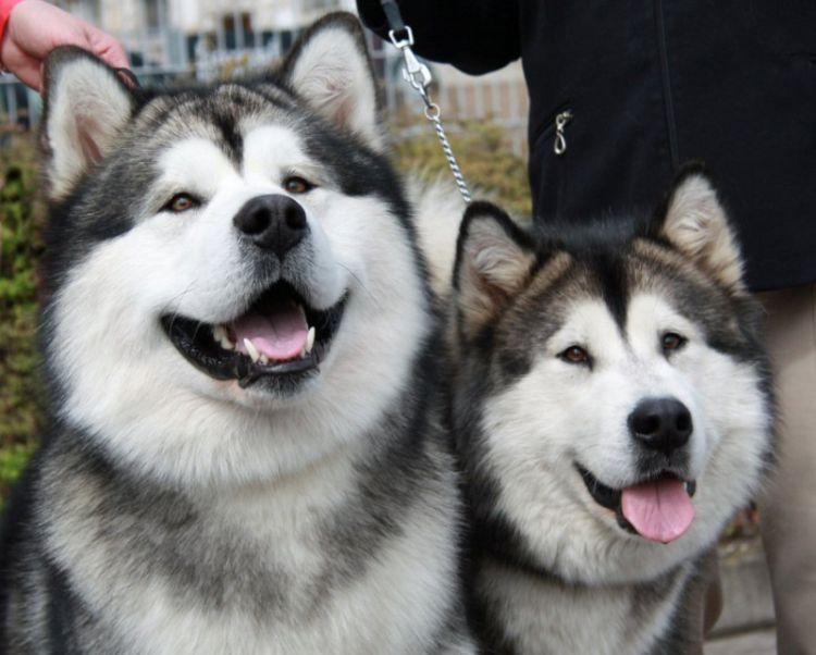 Фестиваль собак породы маламуты накрыше Лофт Этажи