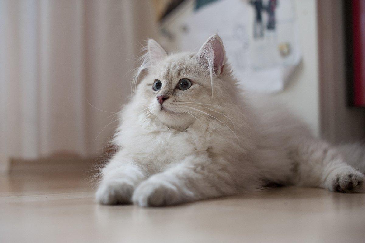 Фестиваль сибирских кошек