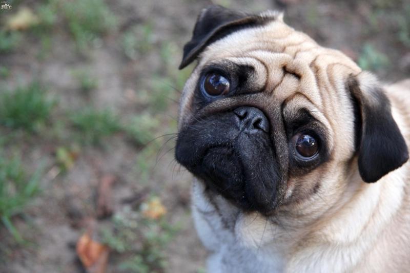 Фестиваль собак породы мопсы