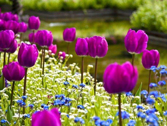 IVФестиваль тюльпанов наЕлагином острове