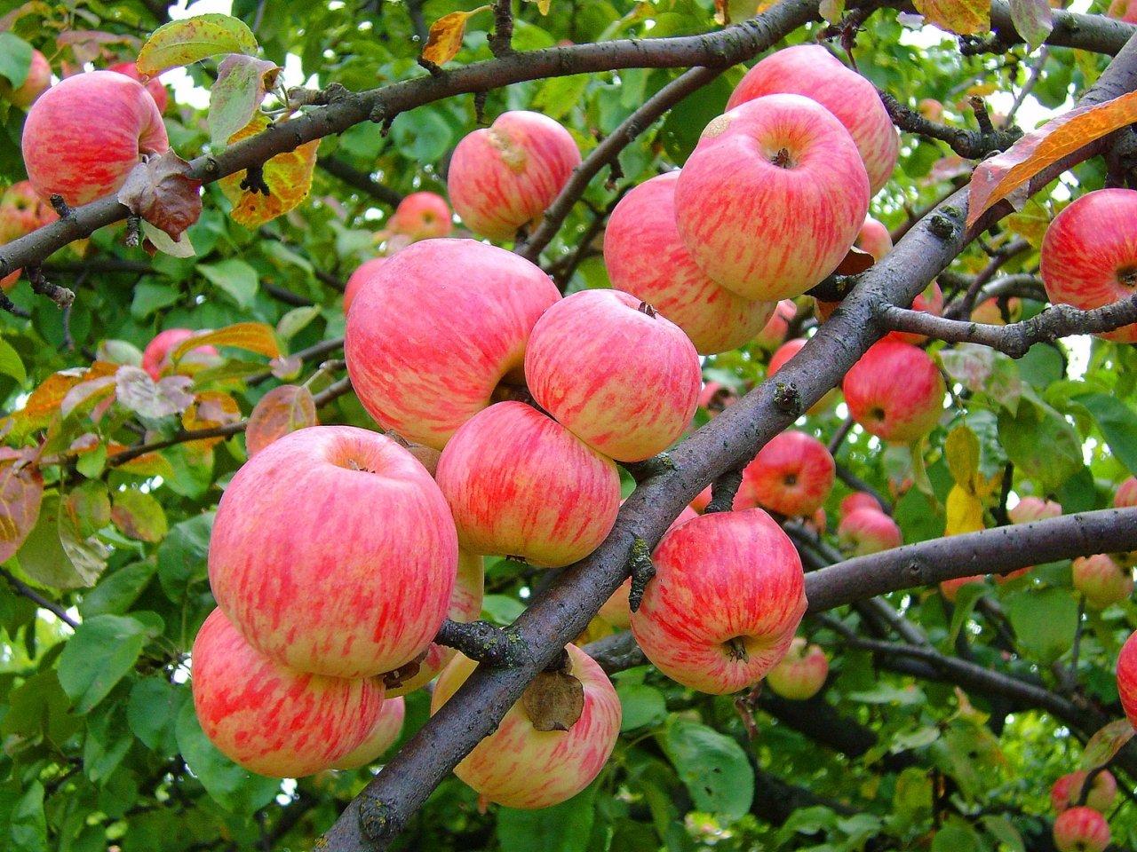 Праздник «Яблочный спас» 2016