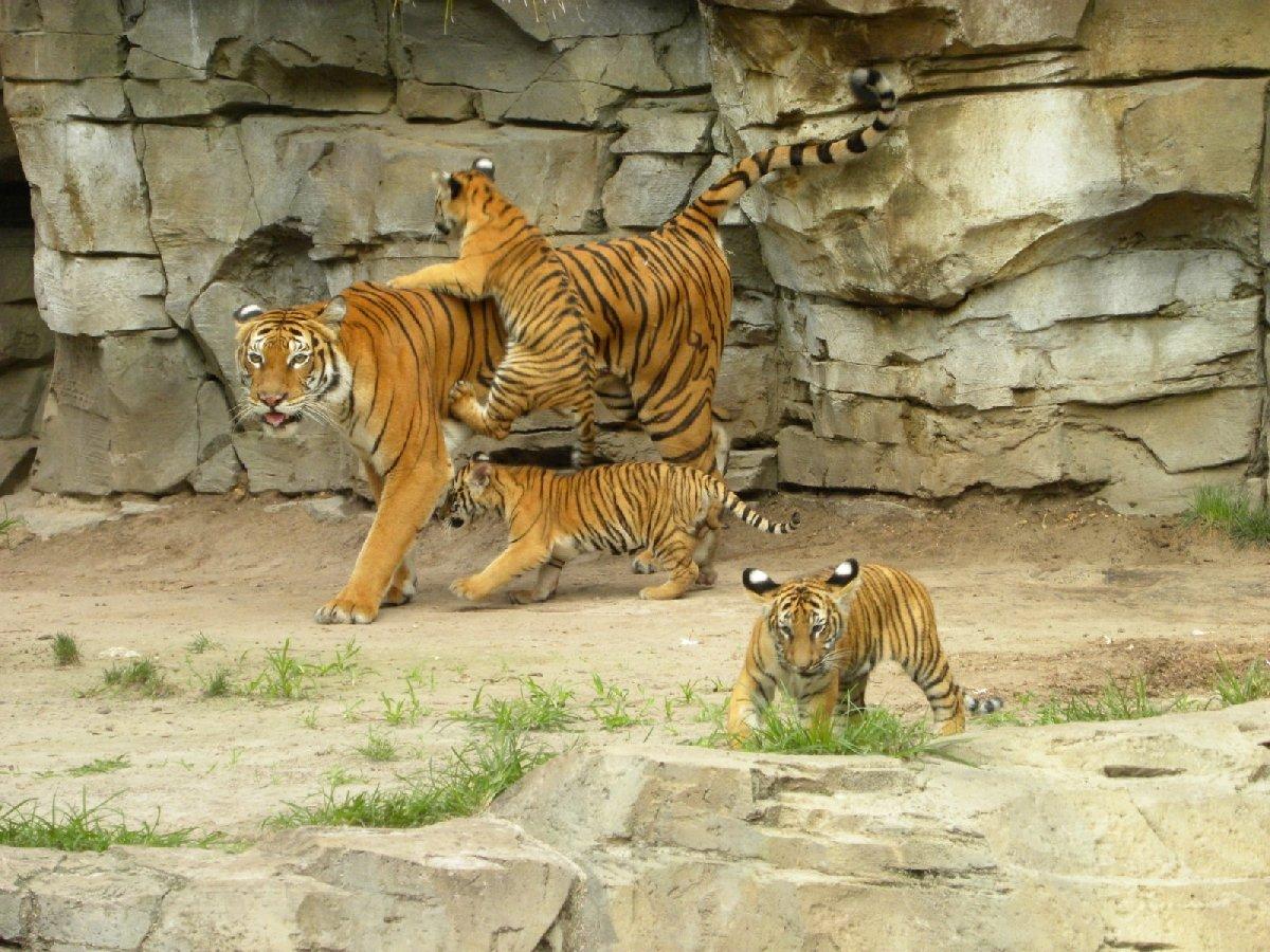 День тигра вЛенинградском зоопарке 2017