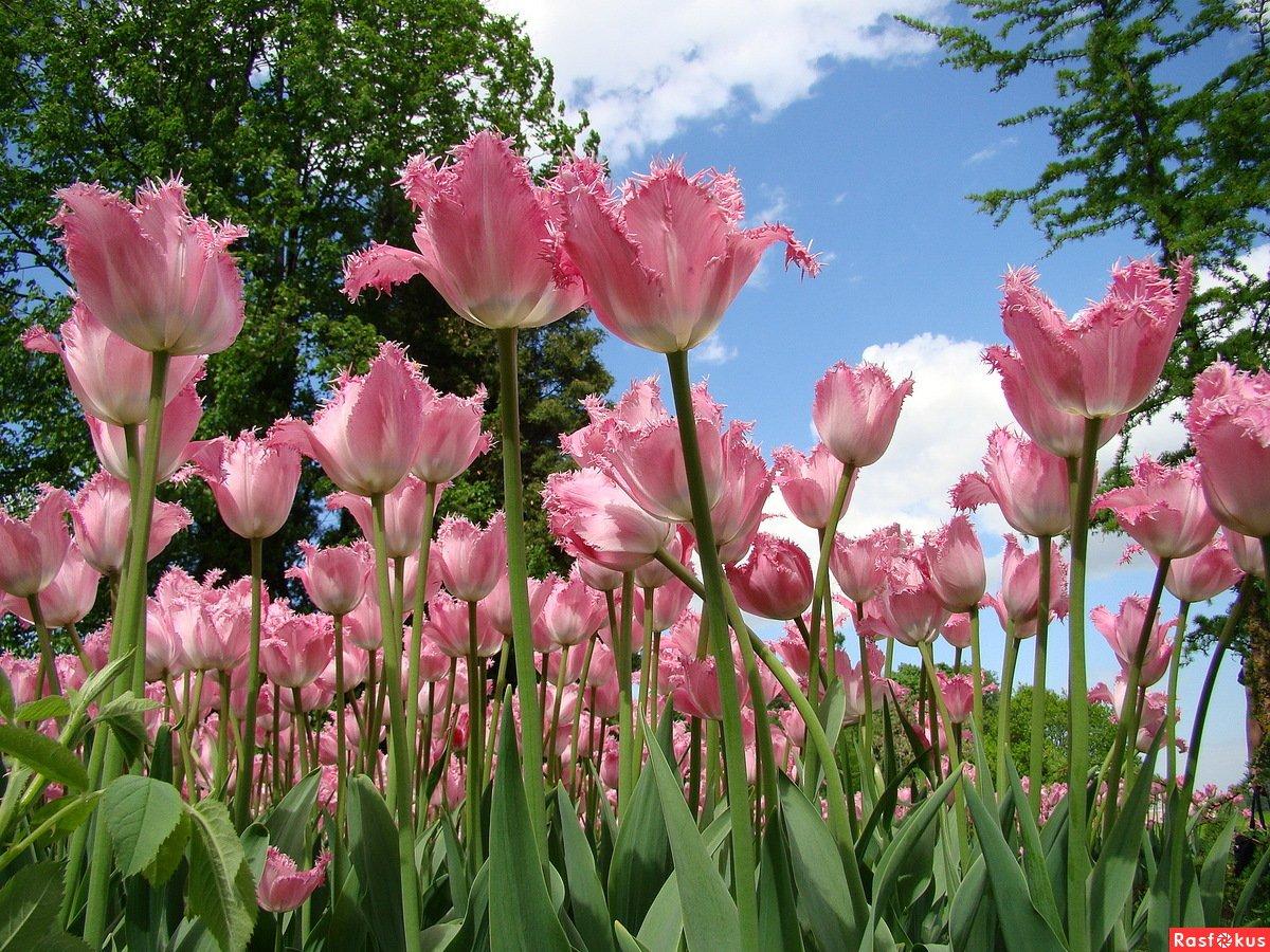 Фестиваль тюльпанов наЕлагином острове онлайн
