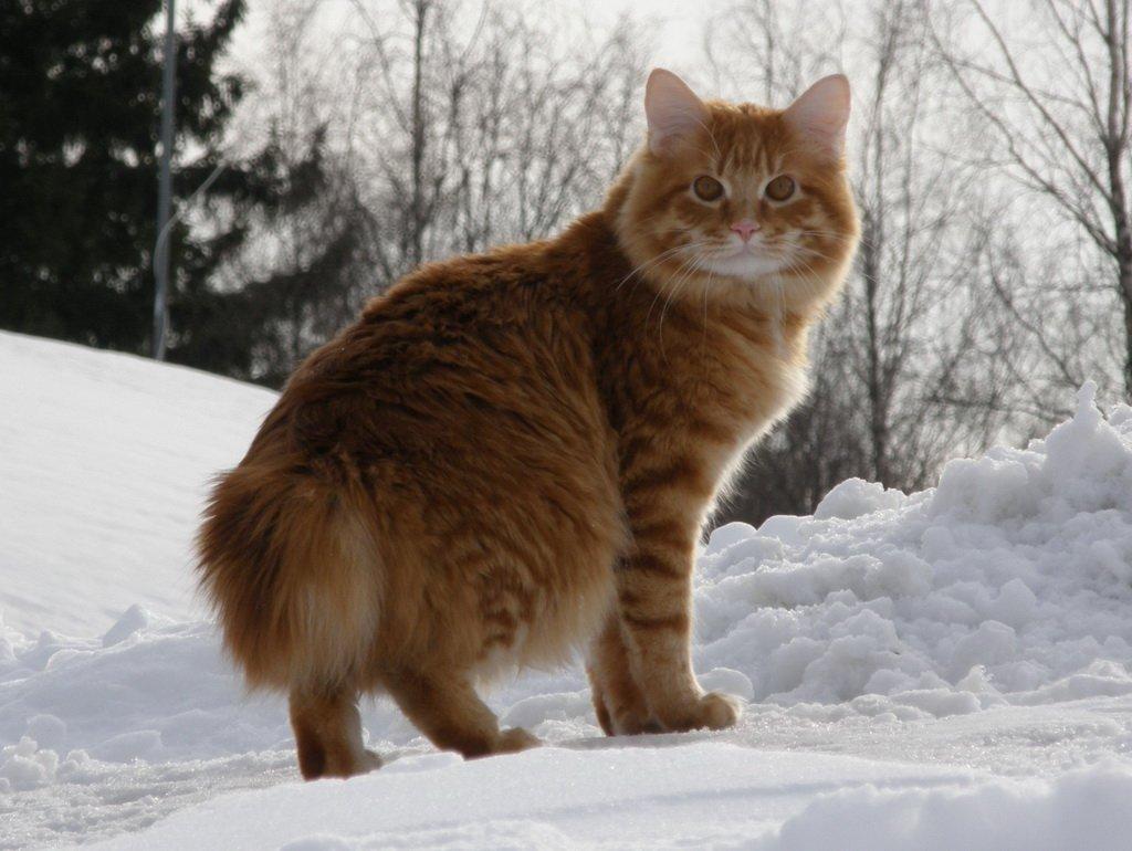 Фестиваль кошек породы «Бобтейл»