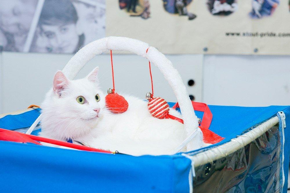 Выставка кошек «В Гостях уСАФФИ» 2017