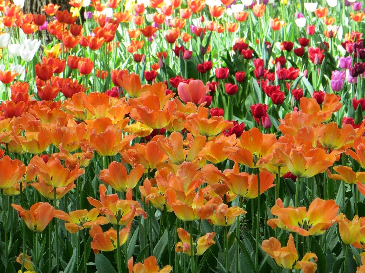 Тюльпаны кодню Рождения Санкт-Петербурга 2020